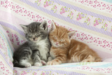 Ginger and Grey Tabby Kittens Sleeping Photographic Print