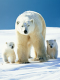 Polar Bear Parent with Cubs Photographic Print