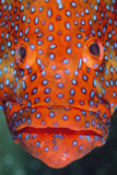 Coral Grouper, Close Up of Head Papier Photo