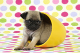 Pug Puppy (6 Wks Old) in a Yellow Pot Photographic Print