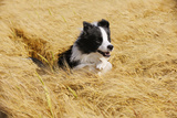 Border Collie Running in Field Photographic Print