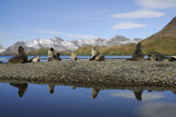 Antarctic Fur Seals Photographic Print