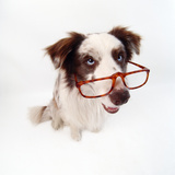 Border Collie Dog Wearing Glasses Photographic Print