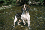 Springer Spaniel Dog in Water Photographic Print