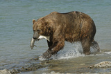 Grizzly Bear Catching Salmon from River Photographic Print