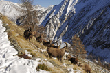 European Ibex on Mountainside in Snow Photographic Print