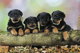 Rottweiler Puppies in a Row Looking over Log Fotografisk tryk