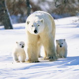 Polar Bear with Two Cubs Photographic Print