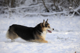 Pembroke Welsh Corgi Running Through the Snow Photographic Print