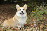 Welsh Corgi in Autumn Leaves Photographic Print