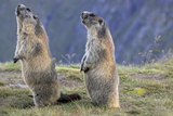 Alpine Marmot Pair on Hind Legs Photographic Print