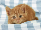 Ginger Kitten on Blue Gingham Photographic Print