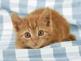 Ginger Kitten on Blue Gingham Photographic Print