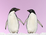 Penguins Two, Holding Hands with Pink Background Photographic Print