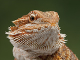 Yellow-Headed Bearded Dragon Reprodukcja zdjęcia