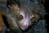 Aye-Aye Photographic Print