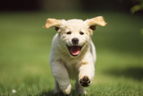 Golden Retriever Dog Puppy Running Towards Camera Fotografisk tryk
