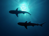 Grey Reef Sharks Grey Reef Sharks Photographic Print