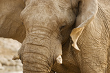 African Elephant Side Profile Portrait Photographic Print