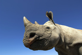 Desert Black Rhino Photographic Print