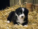 Border Collie Dog Puppy in Straw Photographic Print