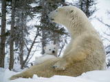 Polar Bear with Baby on Lap, in Snow Photographic Print