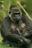 Gorilla Cuddles Baby Reprodukcja zdjęcia