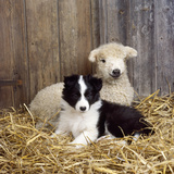Border Collie Puppy with Lamb Photographic Print