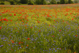 Flowers in Meadow Poppy and Cornflowers Photographic Print