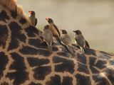Red-Billed Oxpeckers Sitting on Giraffe Neck Photographic Print