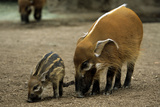 Red River Hog Female with Young Fotografie-Druck