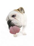 Bulldog Licking the Screen Photographic Print