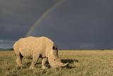 Southern White Rhinoceros Feeding with Rainbow Photographic Print
