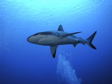 Grey Reef Shark Once Common Through Out the Indo Photographic Print