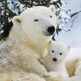 Polar Bear with Cub Photographic Print