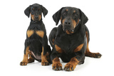 Dobermann Puppy and Adult Photographic Print