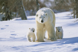 Polar Bear and X Two Cubs Walking Alongside Photographic Print