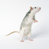 Pet Rat Standing on Hind Legs Photographic Print