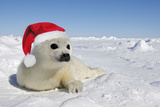Seal Wearing Christmas Hat Photographic Print