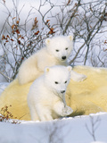 Polar Bear Cubs on Mother Photographic Print