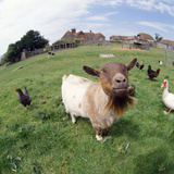 Goat Chickens and Farm Photographic Print
