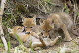 Coyote Young Wild Pups Playing Near their Den Photographic Print