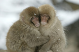 Japanese Macaque Monkey Two Huddled Together Fotografisk trykk
