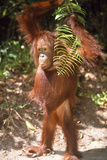 Orang-Utan Plays with Fern Photographic Print