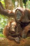 Orang-Utan Adult and Young Photographic Print