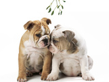 Bulldog X2 Puppies Photographic Print