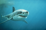 Great White Pointer Shark Reproduction photographique