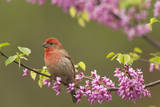 House Finch Male in Redbud Tree, Spring Photographic Print