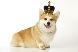 Welsh Corgi Wearing Crown and Pearls Photographic Print