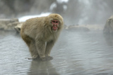 Japanese Macaque Monkey Standing on Rock in Middle Fotografisk trykk